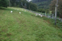 … and the sheep are eager for the gates to be re-opened to cross the line at the end of a damp day!