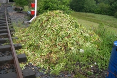 … while clippings from Corris Churchyard hedge await burning.