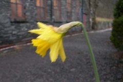 This is ridiculous! Often, in Corris we are fortunate to see daffodils out in time for St. David's Day!